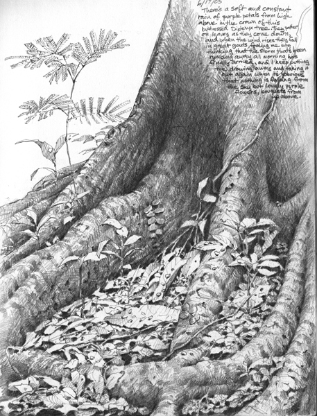 Drawing of Dipteryx Tree Roots, Panama