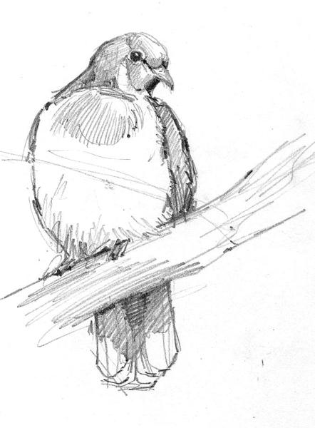 fruit pigeon