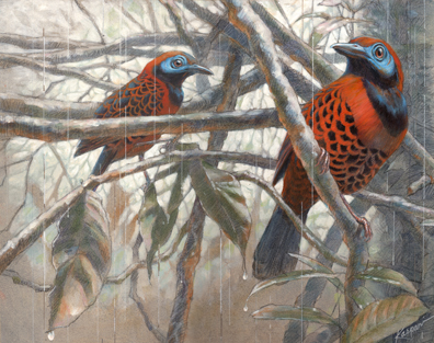 Ocellated Antbirds in the Rain