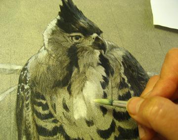 ornate hawk eagle gets some volume