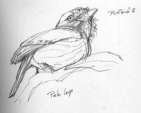 whitewhiskeredpuffbird.jpg
