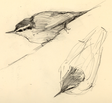 rbnuthatchsketches.jpg
