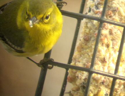 pinewarbler.jpg