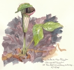 Jack in the Pulpit, blooming in the leaf litter, Harvard Forest
