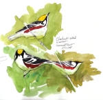 Chestnut-sided warblers, Harvard Forest