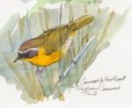 Common yellowthroat, Petersham Commons