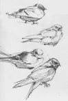 Purple martins, sketched at Hamanassett State Park, CT