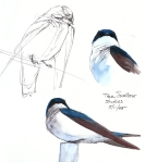 Tree swallow studies, Harvard Forest