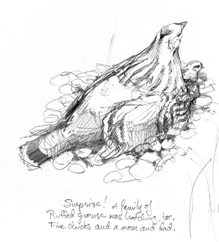 mother ruffed grouse and chicks underneath, drawn from life