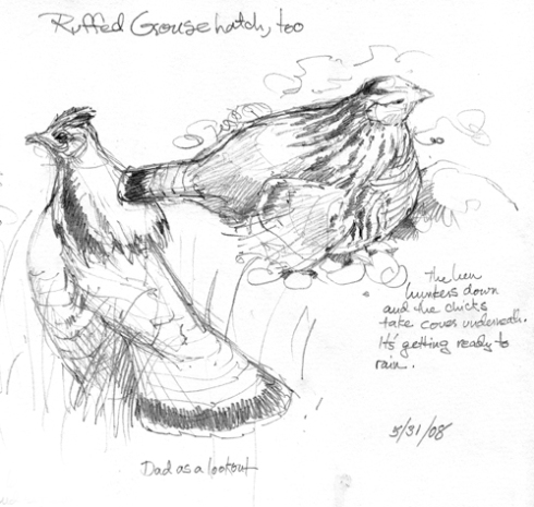 male and female ruffed grouse