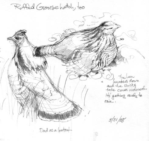 male and female ruffed grouse
