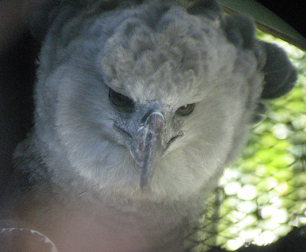 Harpy eagle, OKC zoo, digiscoped