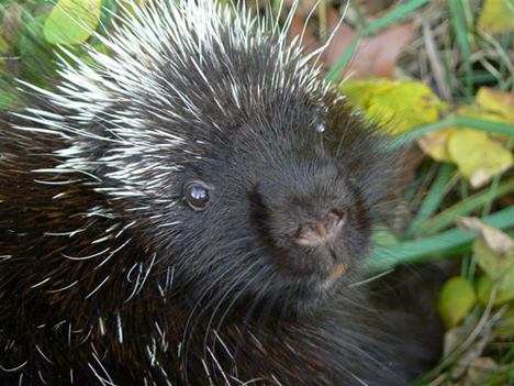 Spike the lovable porcupine