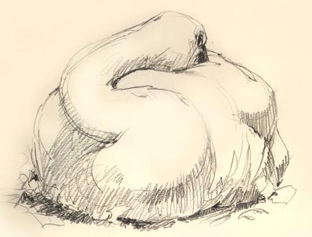 Tundra swan at OKC Zoo.