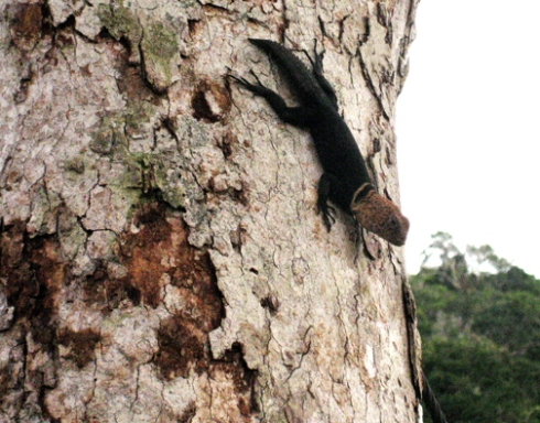 An arboreal lizard that ate ants and small insects from the branches of the canopy. At one point I looked up from my sketchbook to see I was surrounded by half a dozen of these; they wanted to eat my sweat bees.