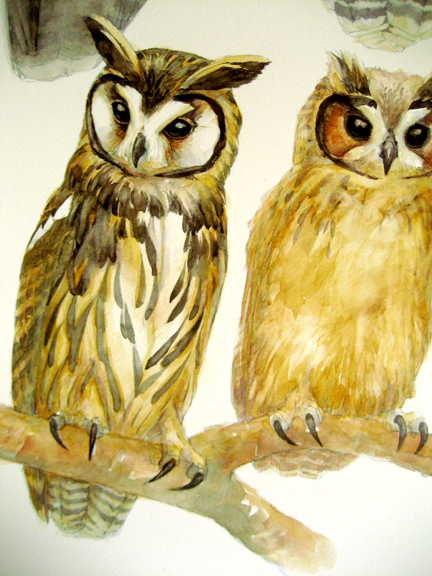 Striped owl adult and juvenile, part of the larger plate. A work in progress.