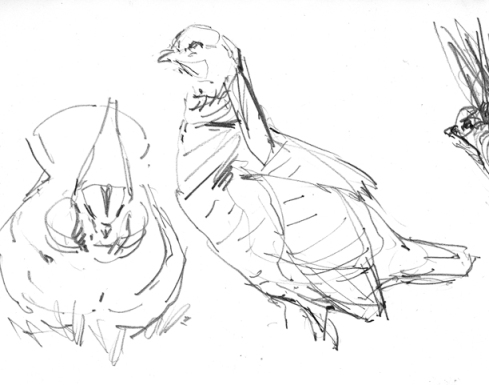 Lesser prairie chickens, drawn from a blind at their lek during the Lesser Prairie Chicken Festival in Woodward, Oklahoma.