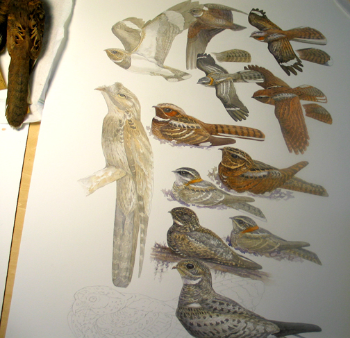 Nightjar (aka Goatsucker) plate for Birds of Trinidad and Tobago, in progress.