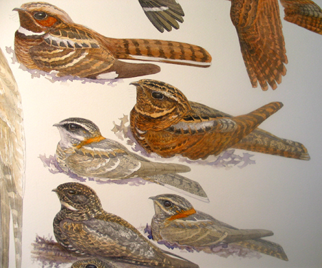 Detail, top to bottom: Common Pauraque, Rufous Nightjar, White-tailed Nightjar male and female, Short-tailed Nighthawk. Watercolor on Fabriano Soft-press 300lb. paper.