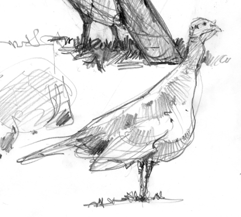 Wild turkey field sketch, New Hampshire