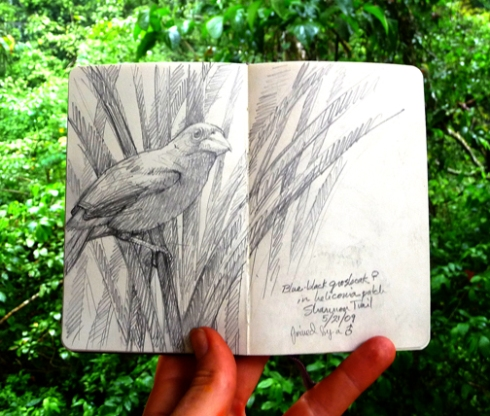 Blueblack Grosbeak attached to a heliconia stem up on a streamside trail; drawn yesterday.