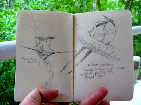 Drawing the Motmot: rufous motmots court in the forest. Big, handsome birds with wonderful voices.