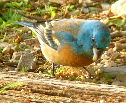 male lazuli bunting inspects seed quality and finds it good enough.
