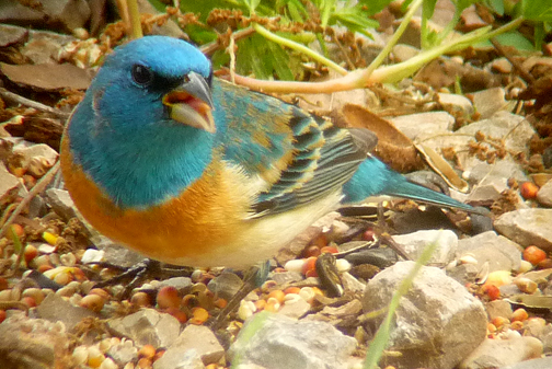 That peachy-rust breast and turquoise (oops, I mean lazuli blue) head contrasts nicely with the white belly and wing coverts.