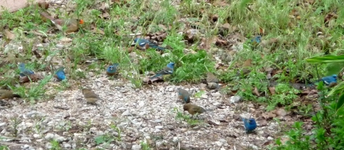 Find the buntings. I counted 8 males and four females, plus one weird one: in the lower righthand corner- a possible indigo x lazuli hybrid?