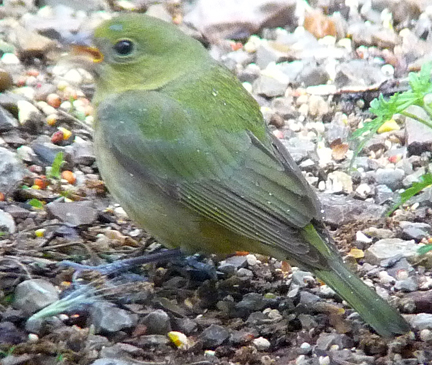 Here's a female painted bunting: greenish overall. No wingbars. Hard to mistake her.