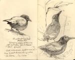 ChestnutbackedAntbird