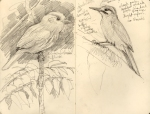 A whitewhiskered puffbird, and a plain brown woodcreeper. Drawn on BCI and in Gamboa, respectively.