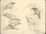 quick sketches of western slaty antshrikes, BCI.