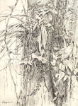 "Long sprays of a bright yellow orchid blooming on the side of a tree. 18""x24"" graphite on Rives BFK, drawn plein air on Barro Colorado Island."