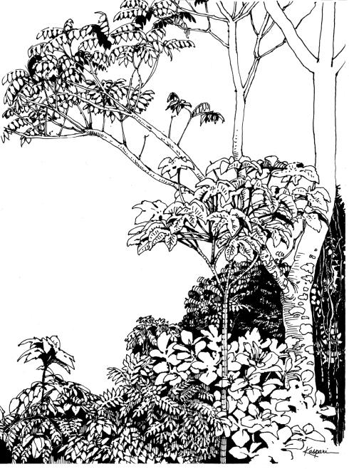 Cecropia- your basic light gap pioneer tree. Barro Colorado Island, 1998