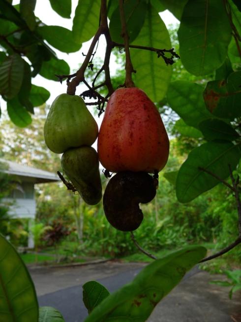 Cashew nuts in a Gamboa garden.
