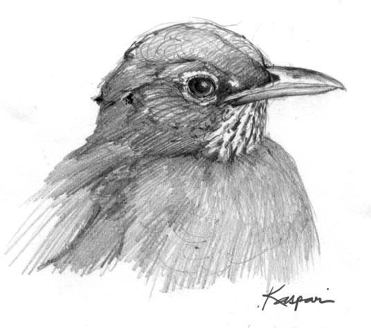 American Robin Drawing American Robin Head Study