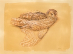 "Barred owl, from a fresh specimen- colored pencil and chalk on toned paper, 30"" x 22"""