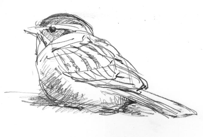 North American Bird Sketches Drawing The Motmot