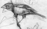 Dickcisselsketch1