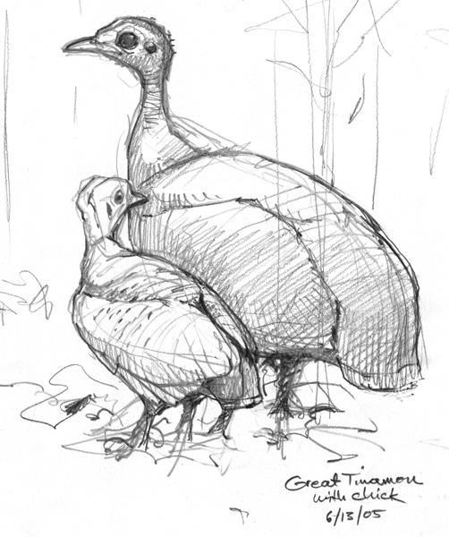 Tropical Rainforest Sounds – Drawing The Motmot