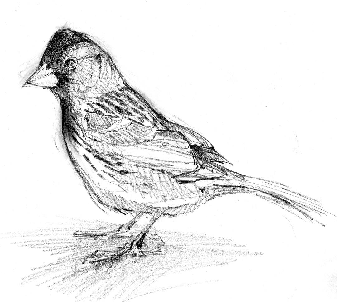 north american bird sketches u2013 drawing the motmot