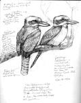 Kookaburras2