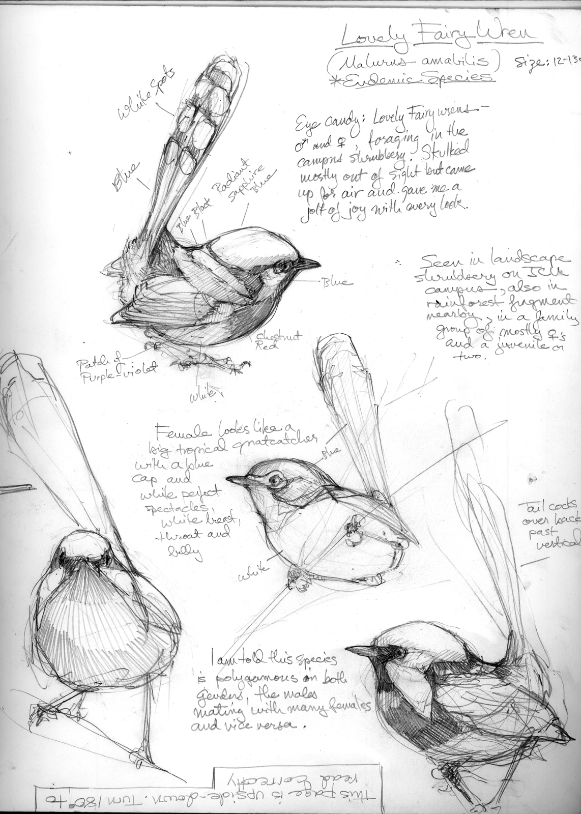 Australia Sketchbook – Drawing The Motmot