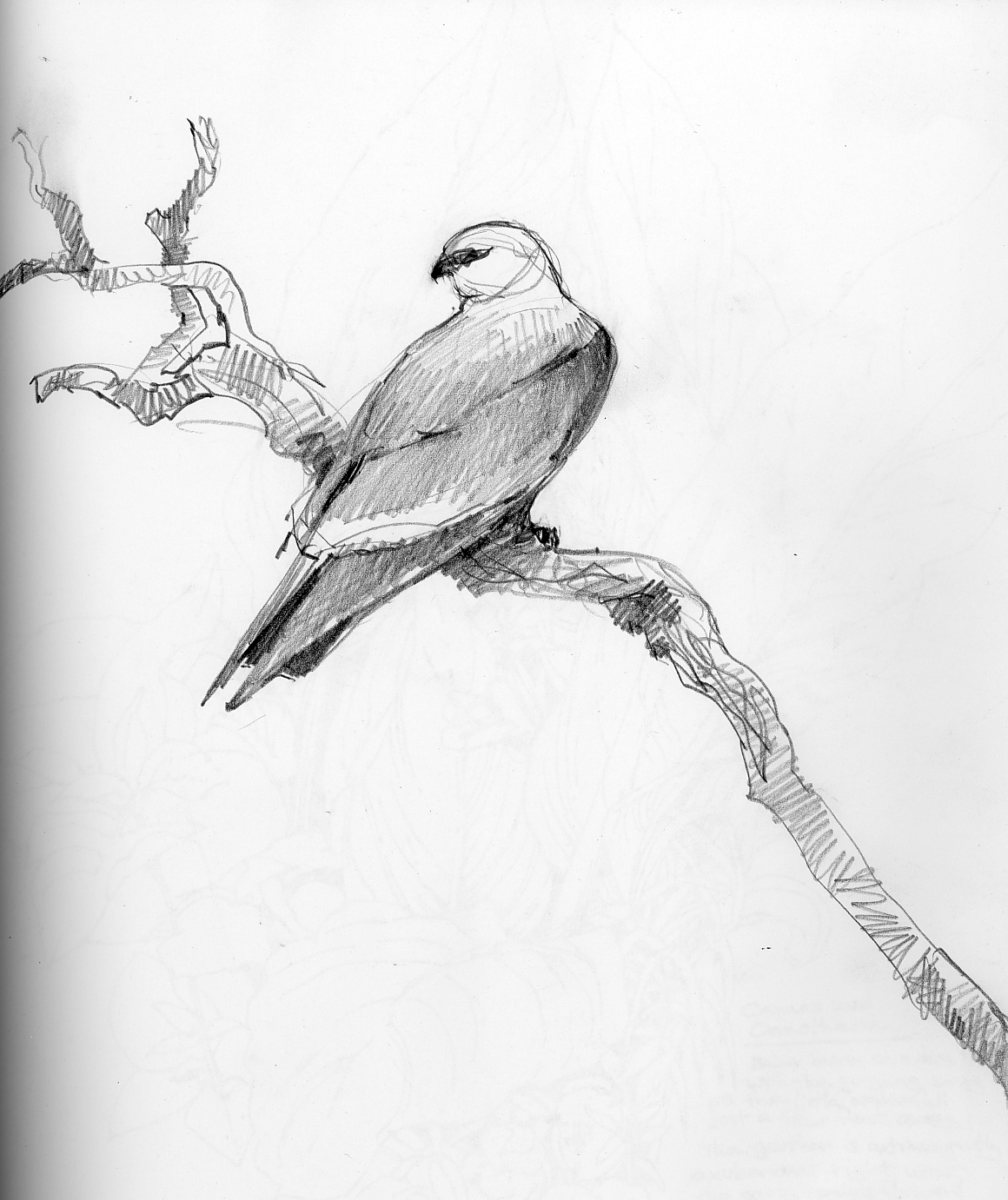 Drawing: North American Bird Sketches