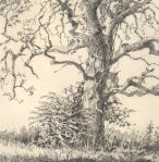 Late fall post oak, Oklahoma. Graphite on paper.