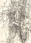 Oncidium orchid, Panama. Graphite on paper