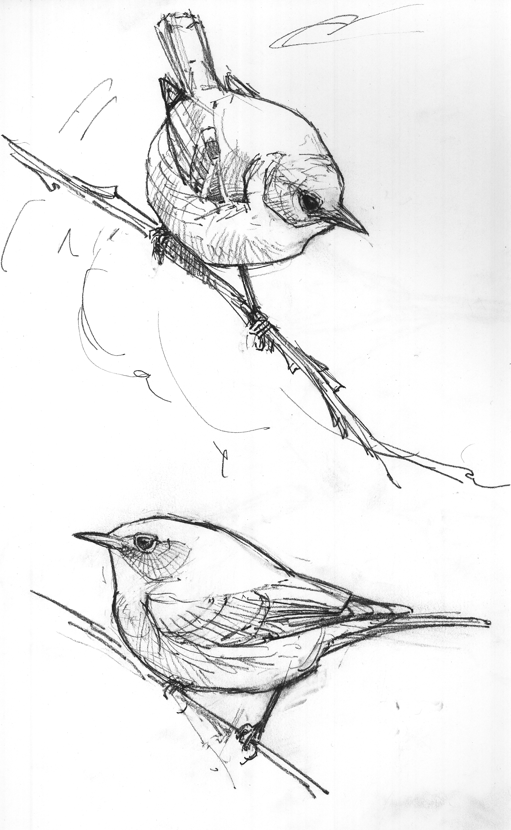 north american bird sketches u2013 drawing the motmot
