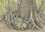 Root strategies in the rainforest, Panama; graphite and pastel on paper
