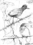 SootyAnbirdssmall